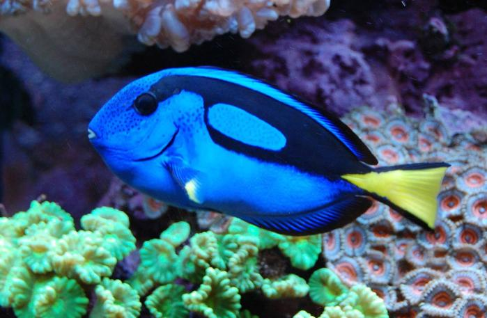 Nielsen 39 s marine mates one of brisbane 39 s largest aquariums for Blue tang fish price