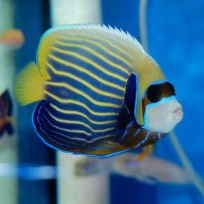 angelfish2